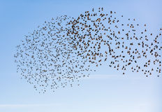 Two flying flock birds Royalty Free Stock Image