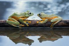 Two Flying Frog Wallace On The Tree Stock Photos