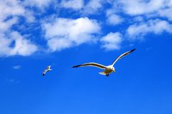 Two flying seagulls Stock Photos