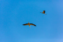 Two flying stork. Against the blue sky Royalty Free Stock Images