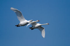 Two flying swans. Two swans at blue sky royalty free stock photos