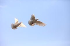 Two flying white doves Stock Image