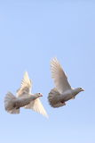 Two flying white doves