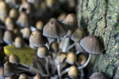The two flys on the top of  Glistening Ink Cap Stock Images