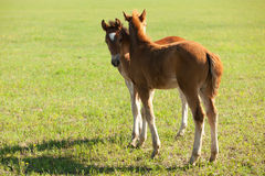 Two foals Royalty Free Stock Image