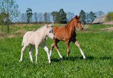 Two foals Stock Image