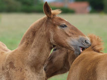 Two Foals Stock Photo