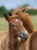 Two Foals Stock Images
