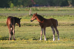 Two foals Stock Photos