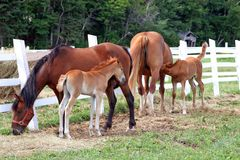 Two Foals And Mares Stock Photos