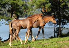 Two foals Royalty Free Stock Images