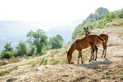 Two foals early morning at rural landscape Royalty Free Stock Photography