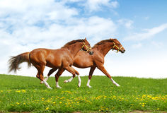 Two foals gallop. Realistic photomontage stock photo