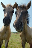 Two foals looking at camera Royalty Free Stock Photos