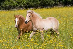 Two foals on meadow Stock Image