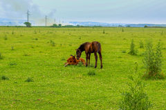 Two foals on a meadow Stock Image