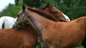Two foals in a morning. Two foal scratching each other in a meadow, summer time stock footage