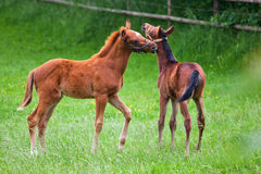 Two foals on the paddcock Stock Photography