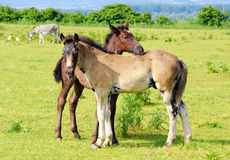 Two foals on pasture Royalty Free Stock Image
