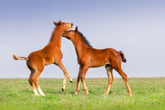 Two foals play Stock Image