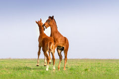 Two foals play Stock Photography