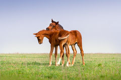 Two foals play Royalty Free Stock Image
