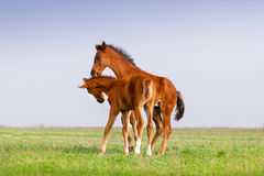 Two foals play Stock Photo