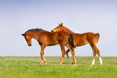 Two foals play Royalty Free Stock Photography