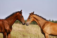 Two foals playing Royalty Free Stock Image