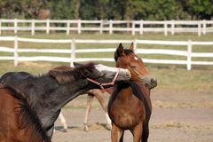 Two foals playing Stock Images