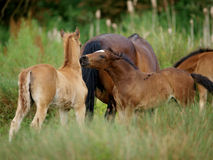 Two foals playing Stock Image
