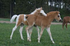 Two foals playing on pasture Royalty Free Stock Photography