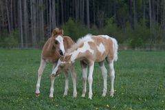 Two foals playing on pasture Stock Image