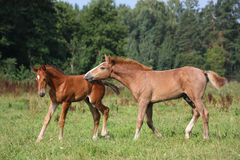 Two foals playing together at the pasture Royalty Free Stock Photos