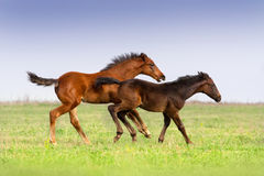 Two foals run. Two colt run gallop on spring field stock image