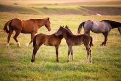Two foals running for a mare Stock Photography