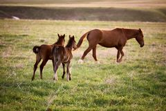 Two foals running for a mare Stock Image