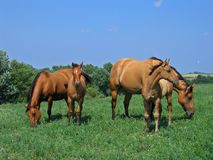 Two foals and their dams. Dun quarter horse mares and their foals Royalty Free Stock Photo