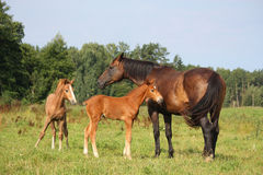 Two foals and their mother on pasture Stock Photography