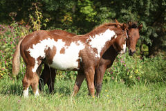 Two foals together in freedom Stock Image