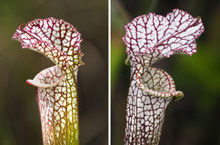 Two Focus Stacked Images of Crimson Pitcher Plants Royalty Free Stock Photo