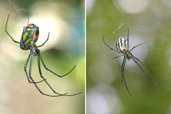 Two Focus Stacked Images of Venusta Orchard Spider one from Top Royalty Free Stock Image