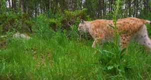 Two focused young european lynx cats walking in the forest in evening