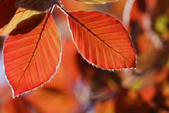 Two foliage Royalty Free Stock Images