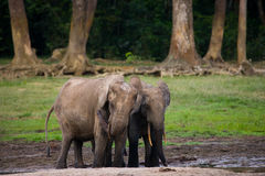 Two forest elephants are drinking water from a source of water. Central African Republic. Republic of Congo. Dzanga-Sangha Special Reserve.  An excellent Royalty Free Stock Image