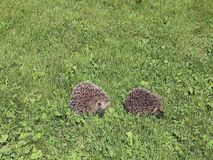 Two forest hedgehogs. Two forest wild hedgehogs on a green lawn stock video