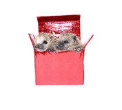 Two forest wild hedgehogs get out of the gift box isolated Stock Photo
