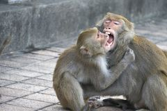 Two Formosan macaques in mountain of Kaohsiung city, Taiwan Royalty Free Stock Image