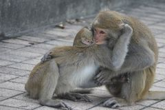 Two Formosan macaques in mountains of Kaohsiung city, Taiwan, also called Macaca cyclopis. They are fighting Stock Images