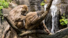 Two Formosan rock macaque sitting on the tree and grooming with a waterfall stock photography